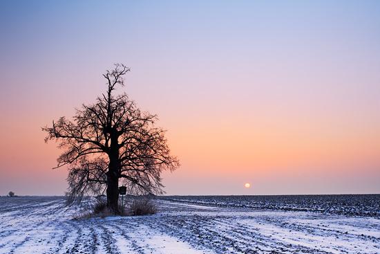 Strom ve Středohoří