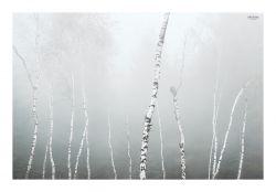fotografie Břízy v mlze