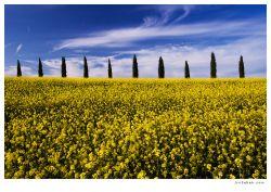 fotografie řepka, toskánsko